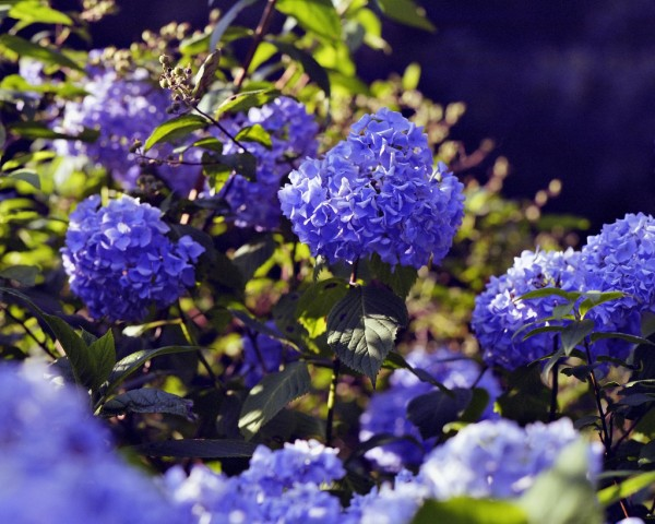 """This species of hydrangea has flowers that can be either red or blue. Why the color difference? Source: """"Hydrangea"""" by Janne Moren is Licensed under the Creative Commons Attribution-NonCommercial-ShareAlike 2.0 Generic."""